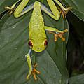 Red-eyed Tree Frog Costa Rica by Suzi  Eszterhas