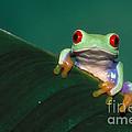 Red Eyed Tree Frog by David Davis