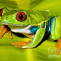 Red-eyed Treefrog by Millard H. Sharp