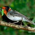 Red-faced Warbler With Caterpillar by Anthony Mercieca