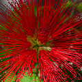 Red Fairy Duster Calliandra Californica by Michael Moriarty