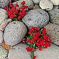 Red Flower In Rocks by Steve Purifoy