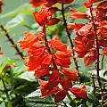 Red Flower by Nelson Watkins