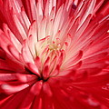 Red Flower by Peggy Burley