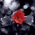 Red Flower Petals by Scott Hill