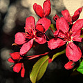 Red Flowering Crabapple Blossoms by Mary Machare