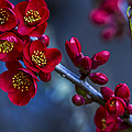 Red Flowering Quince by Belinda Greb
