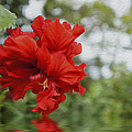 Red Flowers by Aged Pixel