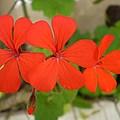 Red Flowers by Florentina De Carvalho