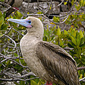 Red-footed Booby Galapagos Islands by Pete Oxford