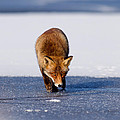 Red Fox Crossing A Frozen Lake by Roeselien Raimond