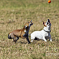 Red Fox Cub And Jack Russell Playing by Brian Bevan