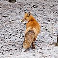 Red Fox Egg Thief by John Wadleigh