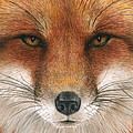 Red Fox Gaze by Pat Erickson