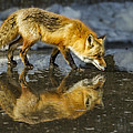 Red Fox Has A Drink by Susan Candelario