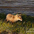 Red Fox Hunting The Edges At Sunset by Timothy Flanigan and Debbie Flanigan Nature Exposure