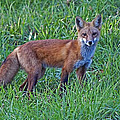 Red Fox In A Field by John Vose