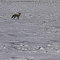 Red Fox In A Winter Setting by Thomas Young