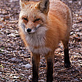 Red Fox In Prospect Park by Fred Stearns