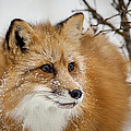Red Fox In Snow by Jack Bell
