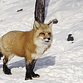 Red Fox In The Snow by Les Palenik