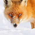 Red Fox in the Snow by Roeselien Raimond