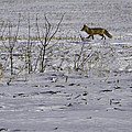 Red Fox In Winter  by Thomas Young