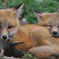 Red Fox Kit Stays Alert by Larry Kjorvestad