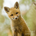 Red Fox Kit Up Close by John Vose