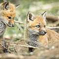Red Fox Kits by Everet Regal