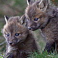 Red Fox Kits by Sharon Fiedler