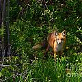 Red Fox by M Dale