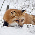 Red Fox Making Dinner Plans by Jack Bell