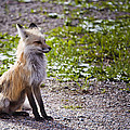 Red Fox Mama by Jack R Perry