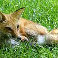 Red Fox Resting by Larry Allan
