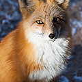 Red Fox Standing by John Wadleigh