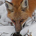 Red Fox Upclose by Ernie Echols