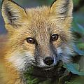 Red Fox Vulpes Vulpes, Gros Morne by Thomas Kitchin & Victoria Hurst