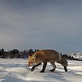 Red Fox Walking In Snow Alaska by Michael Quinton