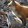 Red Fox With Kits by Doris Potter