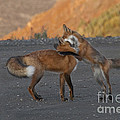 Red Foxes by Ron & Nancy Sanford