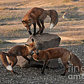 Red Foxes Vulpes Fulva by Ron Sanford