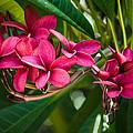 Red Frangipani Flowers by Gene Norris