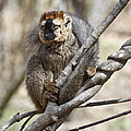 Red-fronted Lemur  Eulemur Rufifrons by Liz Leyden