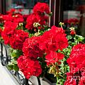 Bunches Of Vibrant Red Pelargonium Flowering  by Arletta Cwalina