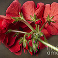 Red Geranium In Progress by James BO Insogna