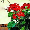 Red Geranium by Lizi Beard-Ward