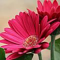 Red Gerber Daisies by Jeanette C Landstrom