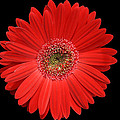 Red Gerber Daisy #2 by Judy Whitton