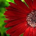 Red Gerber Daisy by John Magyar Photography